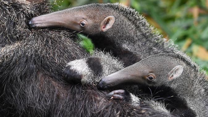 Sepasang bayi tenggiling kembar menempel di punggung induknya di Taman Safari Chimelong di Guangzhou, Provinsi Guangdong, China pada 10 Juni 2020. Bayi tenggiling kembar jantan dan betina, yang lahir pada 3 Maret tahun ini, diperkenalkan ke publik . (Xinhua/Liu Dawei)