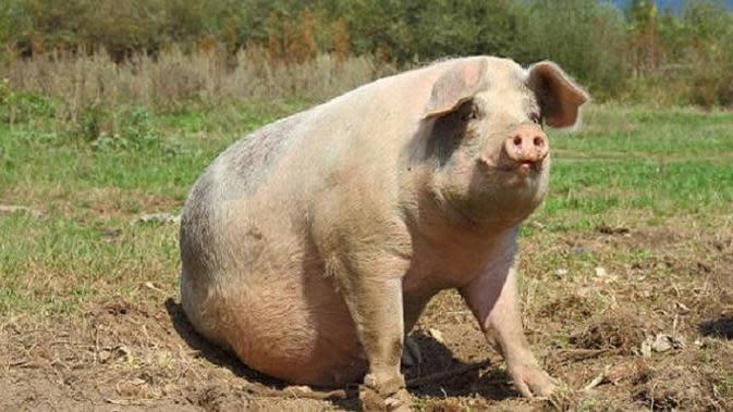 Ilustrasi babi (iStock)