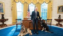 拜登家「第一犬」不適應白宮 被送回老家