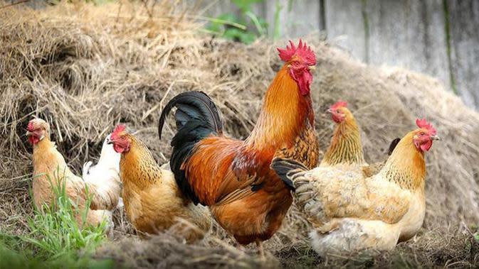 Tidak hanya kecoak, ayam ini berhasil membuktikan untuk terus hidup meski tanpa kepala. (doc: pixabay.com)