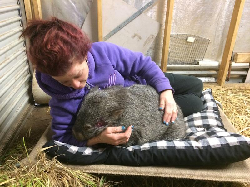An injured wombat in the arms of Shelley Stafford. Source: Narbeview Wildlife Shelter