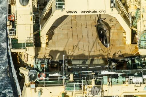 "A protected minke whale seen onboard the Nisshin Maru at sea in Antarctic waters in January 2017; Tokyo currently observes the moratorium on whaling but exploits a loophole to kill hundreds of whales every year for ""scientific purposes"""