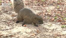 大安森林公園危機? 逾5百松鼠狂咬樹皮