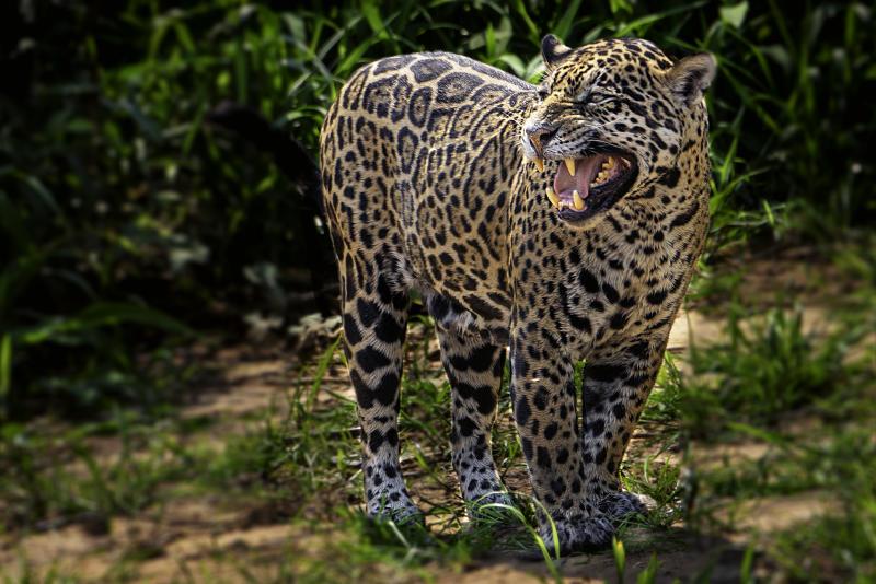 Painted jaguar photographed in Pantanal region, Brazil