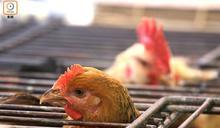 英德及韓國部分地區爆H5N8禽流感 禽肉及禽產品暫停輸港