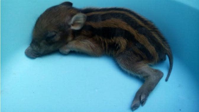 Warga Bulukumba dihebohkan kemunculan sosok babi jadi-jadian alias babi ngepet. (Liputan6.com/Fauzan Sulaiman)