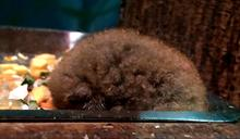 動物園驚見小毛球 原來是小懶猴寶寶