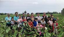 花蓮吉安芋頭上市 產地直購農民消費者雙贏