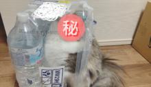 貓咪玩耍一半突「擬態變身」 網笑:這瓶水毛毛的!