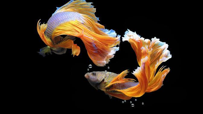 6 Cara Merawat Ikan Cupang, Lakukan dengan Benar