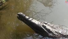 動物園鱷魚天冷不動!遭遊客丟石塊測試