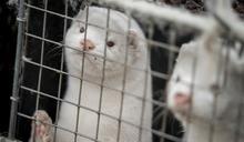 丹麥水貂染變種新冠病毒嚇壞歐洲!英國加強入境限制