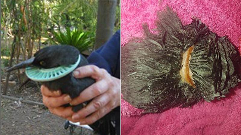 The currawong was found just in time with a pool filter cutting deep into his neck. Before (left) and after the rescue (right). Source: Facebook