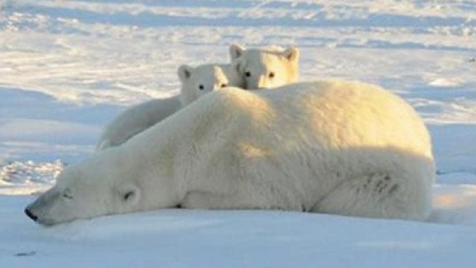 Beruang kutub kelaparan saat es Kutub Utara mencair (Antara)