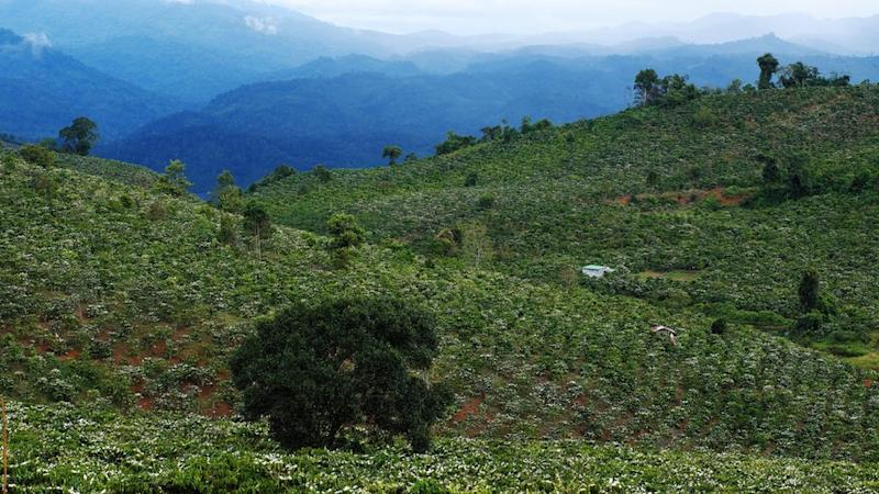 Coffee plantation in blossom in Vietnam