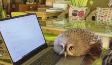 主人打電腦遭貓頭鷹頻頻干擾 網笑:這是喵咪吧?