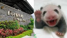出發看熊貓!台北市動物園「夜間遊園」開放,今年只有這7天可看