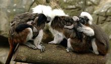 北市動物園棉頭絹猴產三胞胎 奶水不足一隻夭折 (圖)