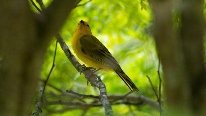 Ilustrasi Burung Kenari (Sumber: iStockphoto)