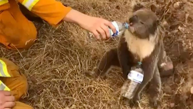Gambar dari video pada 22 Desember 2019, seekor koala meminum air dari botol yang diberikan petugas pemadam kebakaran di Cudlee Creek, Australia Selatan. Untungnya, koala yang terperangkap di sekitar kebakaran itu tidak mengalami luka. (Oakbank Balhannah CFS via AP)
