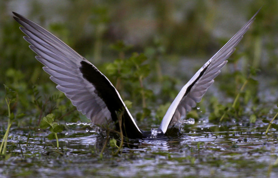 A tern dips into the water as it feeds just off the banks of the Pripyat River, near the town of Turov, some 270 km (167 miles) south of Minsk, Friday, May 6, 2011. (AP Photo/Sergei Grits)