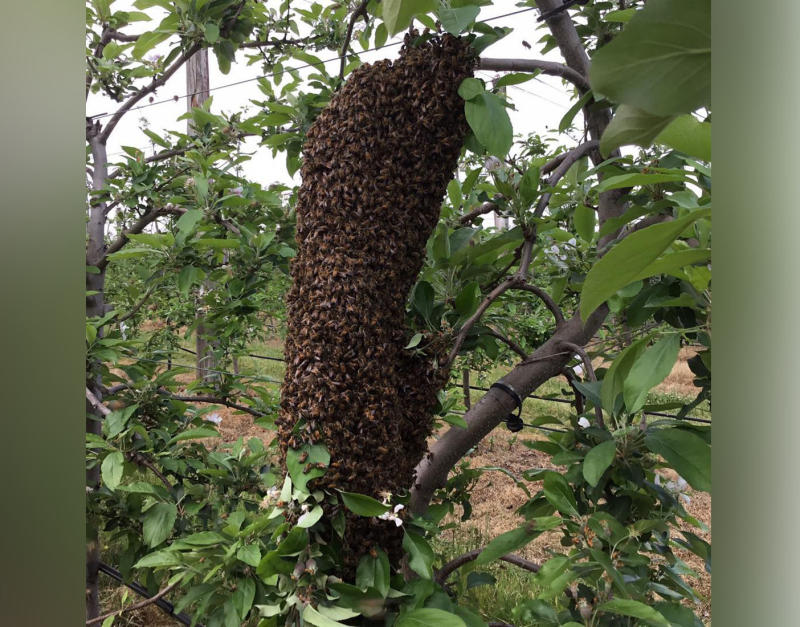 Swarms of bees hit Sydney as the rain clears.
