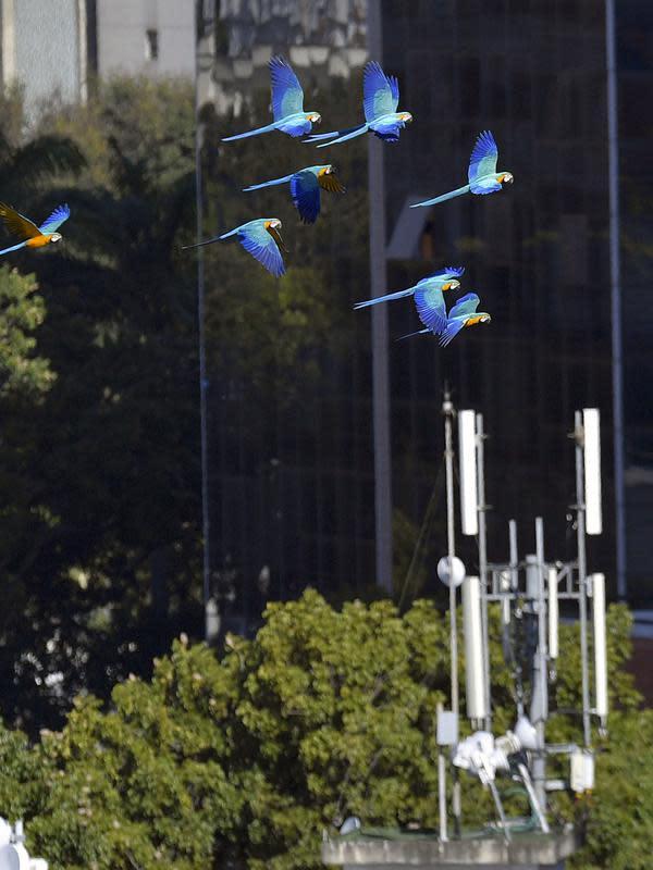 Sekawanan burung macaw (sejenis beo) terbang di atas sebuah gedung apartemen di Caracas pada 18 November 2018. Setiap sore, puluhan macaw liar berwarna-warni berduyun-duyun ke balkon dan teras tempat warga menaruh makanan untuk mereka. (YURI CORTEZ/AFP)