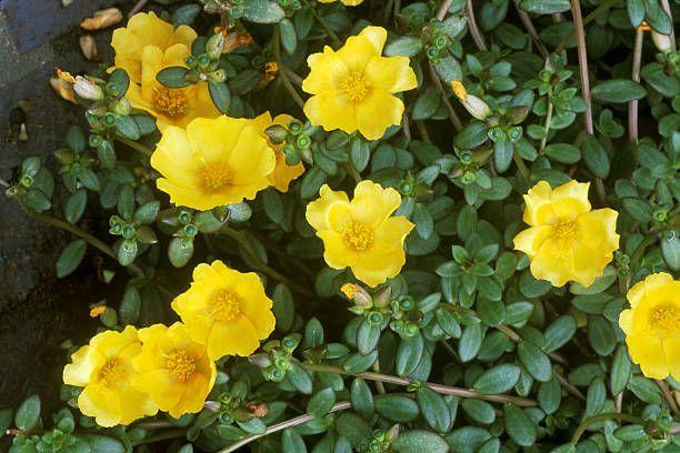 """<p>These tough low-growing succulents, also called portulaca, tolerate heat and drought. They bloom all summer until a hard frost and look amazing draping out of hanging baskets or beds. </p><p>Varieties to try: Mohave Fuchsia, Mohave Tangerine</p><p><a class=""""body-btn-link"""" href=""""https://www.provenwinners.com/plants/portulaca/mojave-tangerine-purslane-portulaca-umbraticola"""" target=""""_blank"""">SHOP NOW</a></p>"""