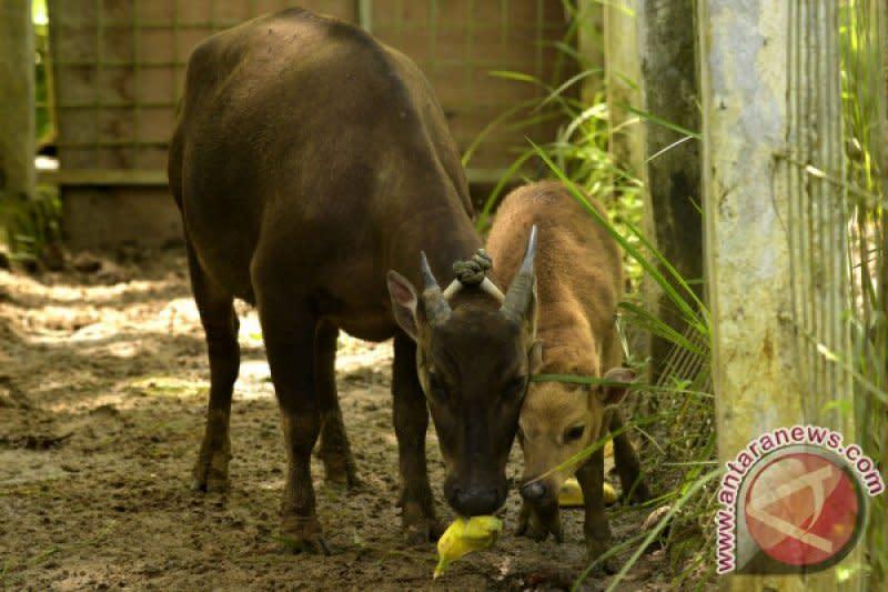 Satwa langka anoa dan babi rusa kian sulit dijumpai, ini penyebabnya