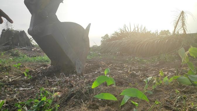Pohon sawit yang ditumbangkan dalam eksekusi lahan di Pelalawan langsung diganti dengan bibit akasia. (Liputan6.com/M Syukur)