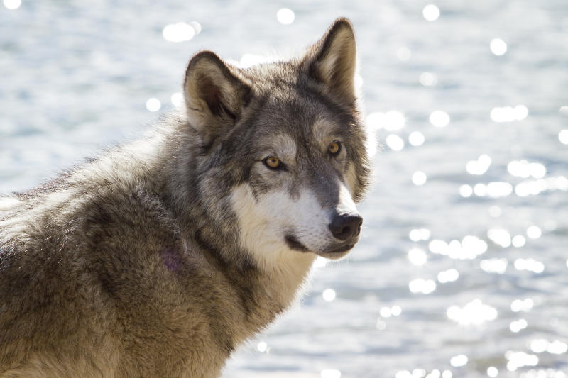 A stock image of a wolf in Banff National Park, Alberta.