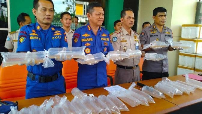 Kantong berisi ribuan benih baby lobster disita polisi dari penyelundup dengan tujuan Malaysia. (Liputan6.com/M Syukur)