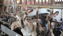 畜禽飼料創新研發 植生素保健飼料功效大