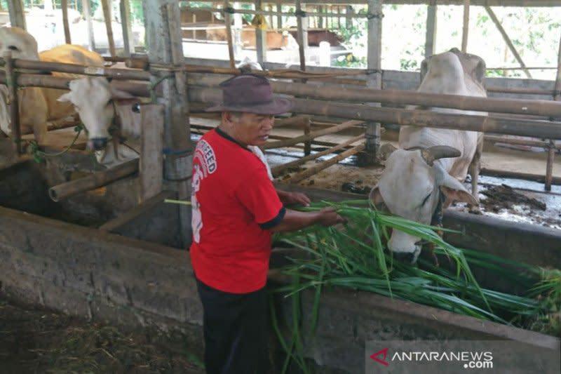 Virus Thailera diduga serang ternak sapi di Sleman