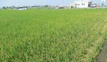 明年嘉南一期稻作是否停耕?農委會:月底前決定