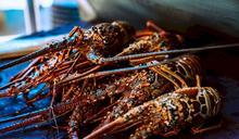 貿易爭端升高 澳洲停止龍蝦出口至中國