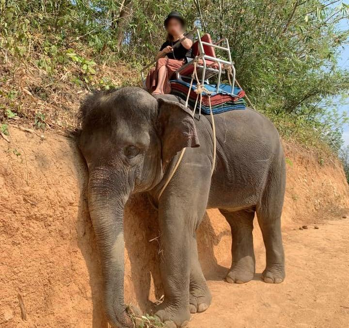 An exhausted elephant in South-East Asia - STAE