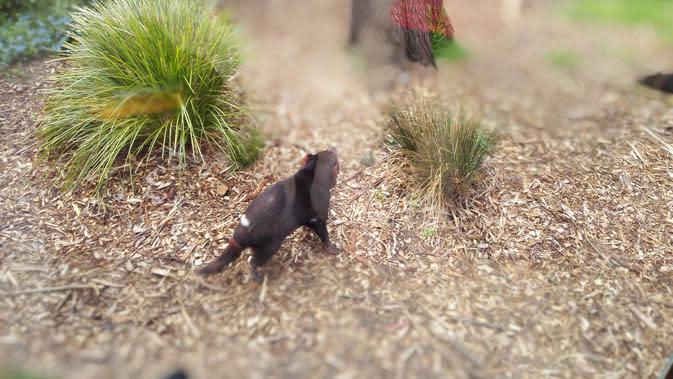 Tasmanian Devil di Healesville Sanctuary Park. (Liputan6.com/Tanti Yulianingsih)