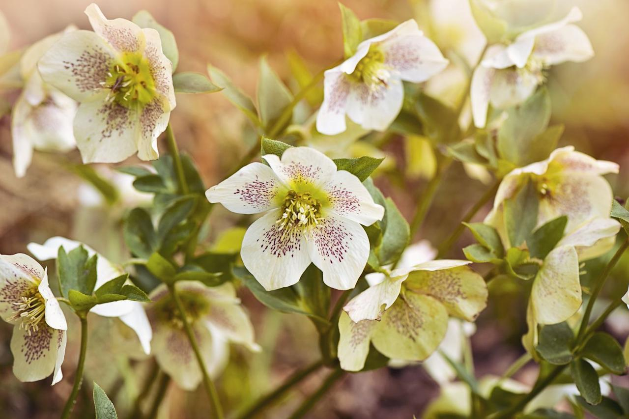 """<p>Naturally, the Christmas Rose, <em></em>also known as a hellebore,<em> </em>is a fantastic plant to watch bloom through the winter. These flowers are best served for borders and patios where they will have protected, shady homes to flourish best and offer a warm welcome to guests. </p><p>We are eyeing the colorful <a href=""""https://www.etsy.com/listing/851714291/romantic-getaway-hellebore-plants?gpla=1&gao=1&"""" target=""""_blank"""">Romantic Getaway Hellbore</a> that blooms in late winter. This plant is best suited for those living in Zones 4-8.</p>"""
