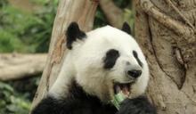 海洋公園大熊貓之旅展館暫時關閉 讓盈盈樂樂準備交配