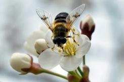 Pahlawan tanpa tanda jasa? Bagaimana hoverfly memainkan peran penyerbukan penting