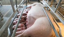 你以為台灣還在「牽豬哥」?台灣豬隻育種早就跟你想的不一樣!