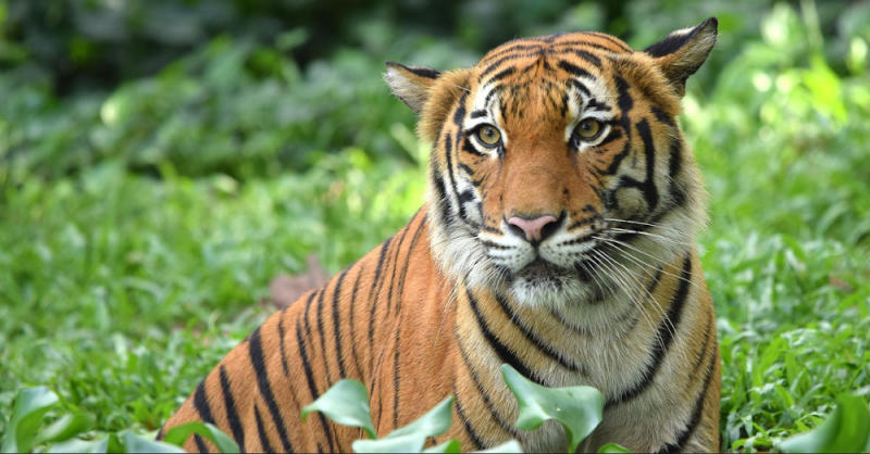 Malayan tigers in the northern region are often left undernourished due to the lack of prey as a result of poaching. — Picture courtesy of WWF Malaysia