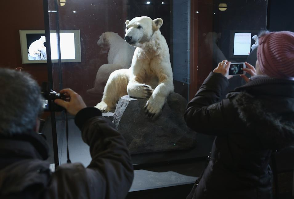 Model Of Knut The Polar Bear Goes On Display At Natural History Museum In Berlin