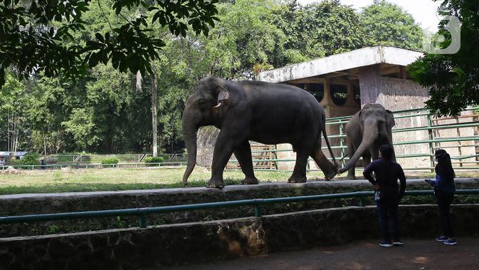 Pengunjung mengamati satwa yang menjadi penghuni Taman Margasatwa Ragunan, Jakarta, Sabtu (20/6/2020). Ragunan mulai dibuka kembali untuk pengunjung di Sabtu ini pada masa PSBB transisi dengan pembatasan dan penerapan protokol kesehatan yang ketat. (Liputan6.com/Herman Zakharia)