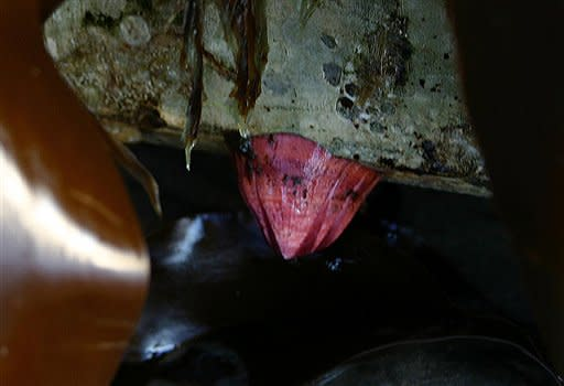 This photo, taken by the Oregon Park and Recreations Department Thursday, June 7, 2012, shows an exotic pink Japanese acorn barnacle attached to a dock float that washed up on Agate Beach Tuesday near Newport, Ore. State authorities are considering how to dispose of the millions of marine creatures that hitchhiked across the Pacific Ocean aboard the dock float torn loose from a Japanese fishing port by the 2011 tsunami so they will not compound the problem of invasive species.(AP Photo/Oregon Parks and Recreation Department, ho)