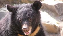 購買「生態友善」農產品為何重要?從一隻被「山豬吊」的台灣黑熊談起