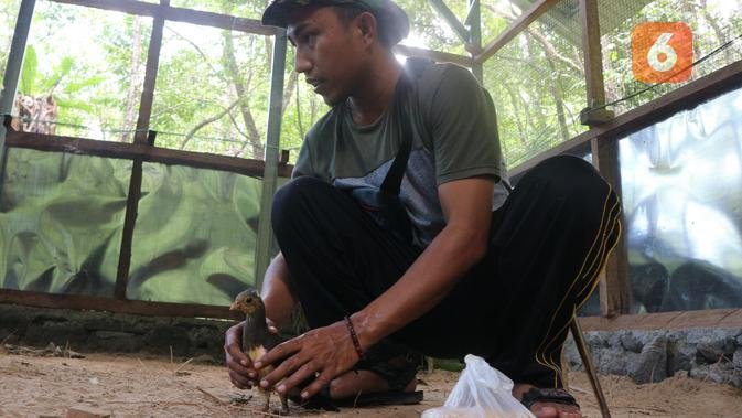 seorang warga anggota LKD Desa Pakuli Utara memegang maleo hasil tangkaran di kandang penangkaran. (Foto:Liputan6.com/ Heri Susanto).