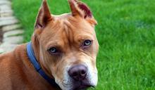 末代比特犬來臨/農委會將下禁養令,「管飼主還是該禁犬隻」讓網友大戰陳吉仲