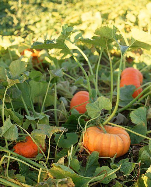 """<p>If you want pumpkins for baking, autumn decorating, or carving, now's the time to get your seeds in the ground. Look for compact varieties if you're short on space, though those vines still require about 6 to 8 square feet to grow. Place a few pumpkin seeds in each hole, and keep watered, especially when flowers and fruits are forming. </p><p>Varieties to try:  Orange Smoothie, Wee-B-Little</p><p><a class=""""body-btn-link"""" href=""""https://www.jungseed.com/product/J03288/1065"""" target=""""_blank"""">SHOP NOW</a></p>"""